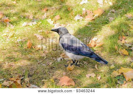 Hooded Crow In Autumn