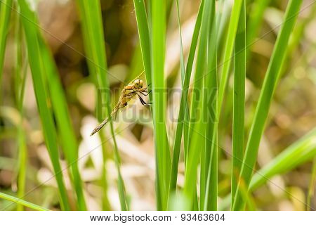 Dragonfly On Reed Leaf
