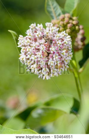 Asclepias Flower And Bee