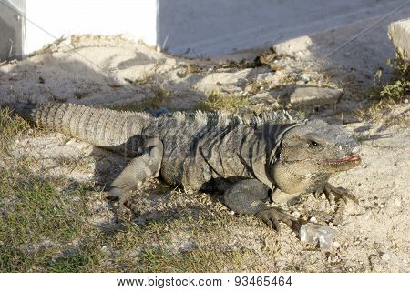 Mexican Iguana with an Ice Cube