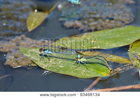 Dragonflies Mating.