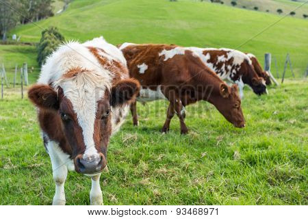 Cows in green grass field