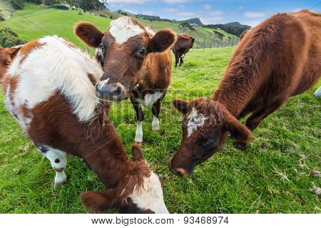 Brown cows eating grass in farm
