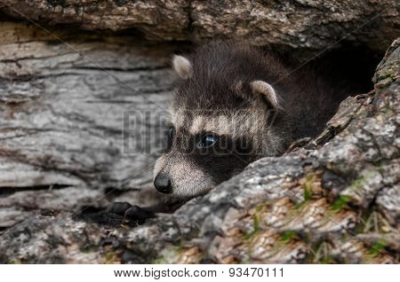 Baby Raccoon (procyon Lotor) Lies In Log