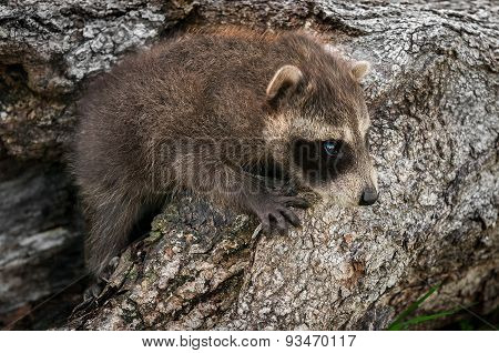 Baby Raccoon (procyon Lotor) Crawls Up Log