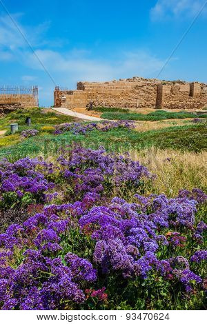 National park Caesarea on the Mediterranean. Israel. The vast field of lavender flowers. The ruins of the protective walls and internal structures of the city