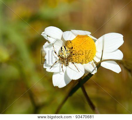 Aculepeira Armida Spider