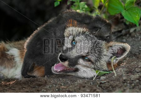 Grey Fox Kit (urocyon Cinereoargenteus) Crawls Over Mother