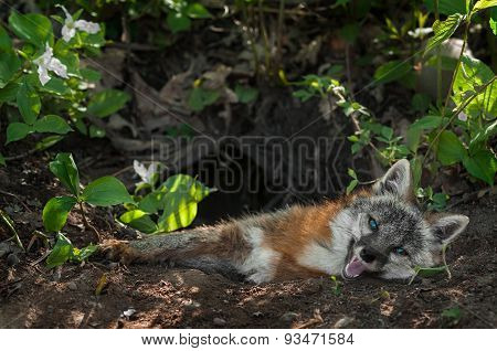 Grey Fox Vixen (urocyon Cinereoargenteus) Lies In Den