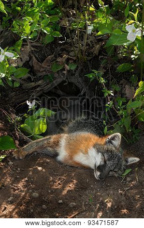 Grey Fox Vixen (urocyon Cinereoargenteus) And Kits Lie In Den