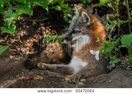 Grey Fox Vixen (urocyon Cinereoargenteus) Lies In Den Entrance
