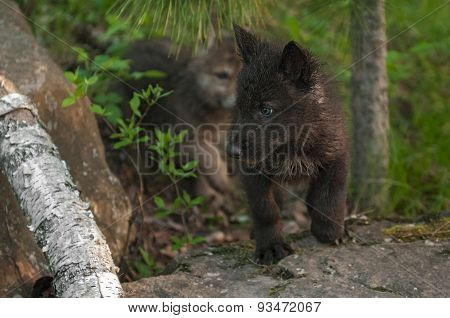 Black Wolf (canis Lupus) Pup Looks Left