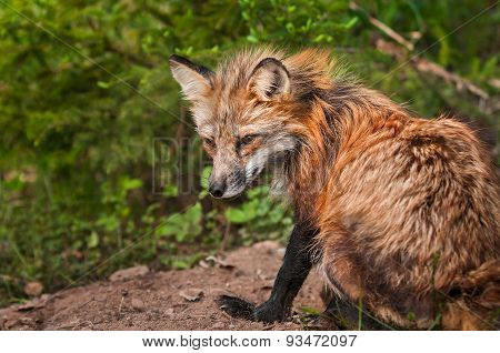 Red Fox Vixen (vulpes Vulpes) Sits Atop Den Site