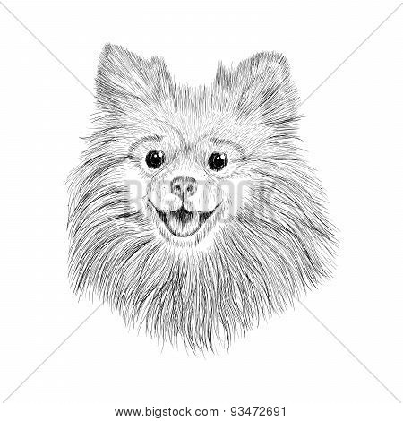 Sketch Spitz. Hand Drawn Face Of Dog Vector Illustration.