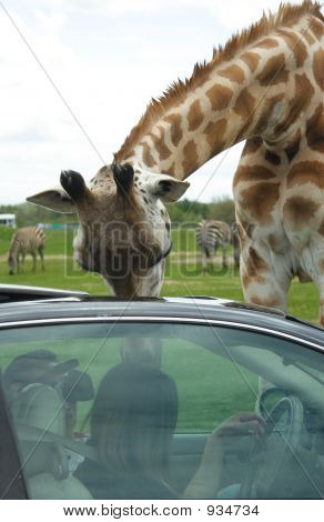 Giraffe_In_Car