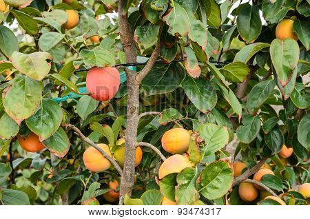 Persimmon fruits on trees