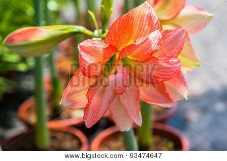 Hippeastrum flower
