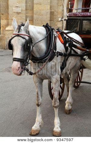 Maltese Karrozzin Horse