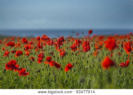 Poppy fields at Polly Joke, West Pentire , Cornwall , UK