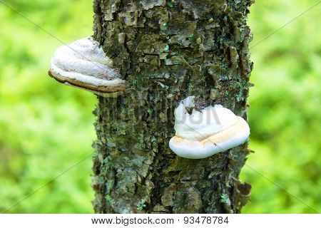 tinder fungus on tree in nature