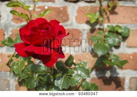 Shrub Of Rose