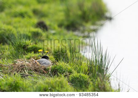 Eurasian coot in nest at the ground