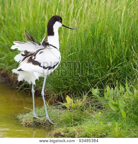 Pied avocet wading in water