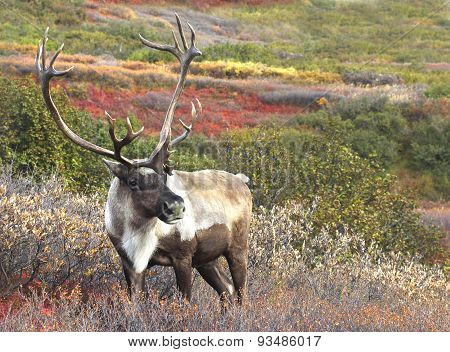 Male Caribou on Fall Tundra