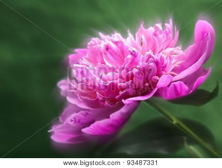 Peony flower over abstract green backgrounds. Floral wallpapers with beauty bokeh