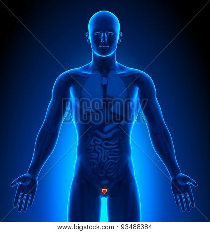 Medical Imaging - Male Organs - Prostate