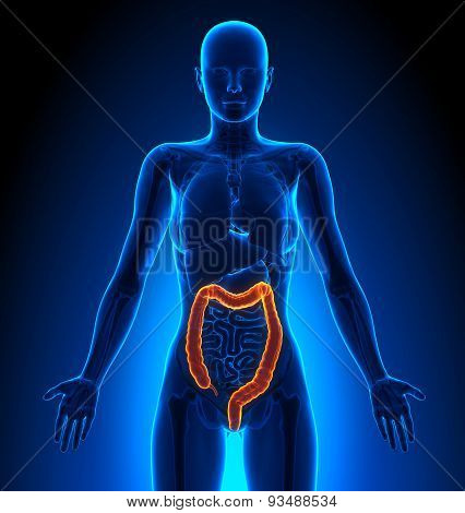 Colon - Female Organs - Human Anatomy
