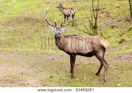 Red Deer Stag On Meadow