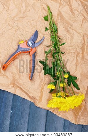 Beautiful yellow chrysanthemum with pruner on paper on wooden table