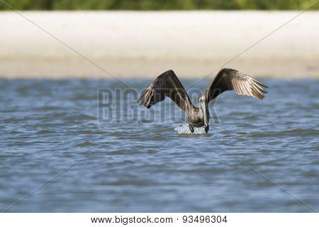 Brown Pelican At Takeoff