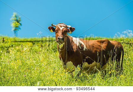 Cow And The Meadow
