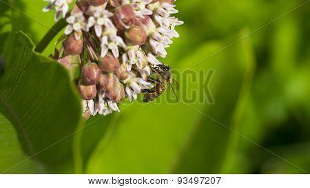 Common Milkweed. Asclepias syriaca. Honey Bee.