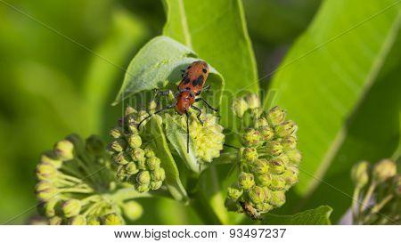 Red Milkweed Beetle (Tetraopes tetrophthalmus). Common Milkweed Buds.