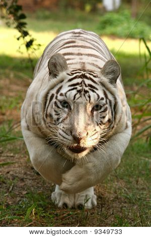 White Tiger Stalking!