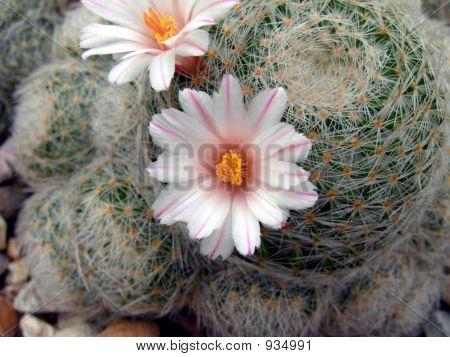 Desert Flowering Cactus