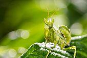 image of creepy crawlies  - Praying mantis  - JPG
