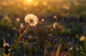 picture of dandelion  - Dandelion flower head on sunset with blurred dandelion field background  - JPG