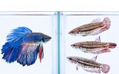 stock photo of horny  - male betta fish confronted to three female betta fish - JPG