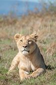 Постер, плакат: Lioness Lying Down While Looking Straight Ahead At Camera