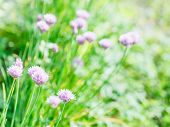 foto of chive  - natural background with pink flowers of chives herb on green summer lawn - JPG