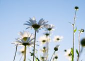 picture of pov  - Daisies ina field taken in the evening as the sun was setting  - JPG