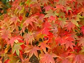 Japanese Maples In Autumn -1 poster