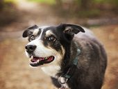 stock photo of herding dog  - a dog out in nature looking at a ball to be thrown  - JPG