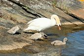 pic of shoreline  - One adult mute swan with three small chicks on rock at the shoreline - JPG