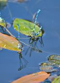 image of mating  - Dragonflies mating - JPG