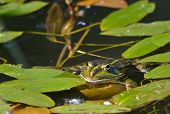 image of amphibious  - A green frog - JPG
